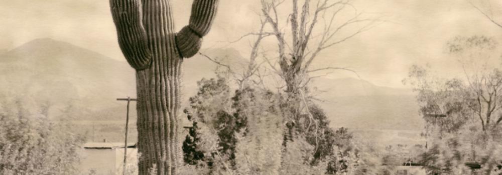 Large large cactus